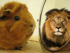 When you lie to your guinea pig and say that they're a lion. They're so gullible that they believe.