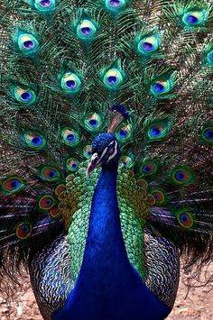 Peacock - Peafowl - What color!