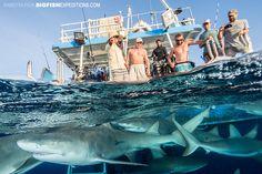 A sea full of lemon sharks at Tiger Beach