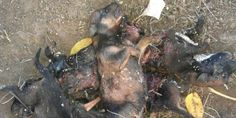 PLEASE SIGN & SHARE Petition demanding action is taken against children who tortured and murdered 9 puppies!  https://secure.avaaz.org/en/petition/Demand_action_is_taken_against_Children_who_tortured_and_murdered_nine_puppies/?staeZcb