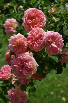 Large-flowered Climbing Rose: Rosa 'Alchymist' (Germany, 1956). Have this one, but it has to be covered over Winter. Blooms on old canes.