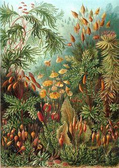 Ernst Haeckel Muscinae Moss Art Forms In Nature Art Print Poster Ernst Haeckel Muscinae Moss Art Forms In Nature Art Print Poster