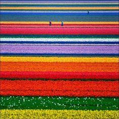 Tulips in Holland, Keukenhof
