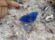 The Brilliant Blue (Junonia rhadama) is a butterfly in the Nymphalidae family. It is found on Madagascar, Mauritius, Rodrigues, La Reunion, the Comoros, and the Seychelles (Astove Island). The habitat consists of transformed grasslands and anthropogenic environments.