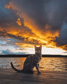 December 06 2017 at Cute Cats And Kittens, I Love Cats, Cool Cats, Chat Maine Coon, Funny Animals, Cute Animals, Adventure Cat, F2 Savannah Cat, Warrior Cats