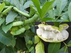 Ingá fruta nativa da flora brasileira/ Inga feuillei brasilian fruit.