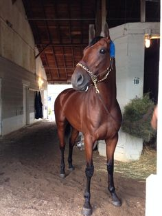 The magnificent American Pharoah Wins Haskell Pretty Horses, Beautiful Horses, Animals Beautiful, Thoroughbred Horse, Breyer Horses, Dressage, Preakness Stakes, Triple Crown Winners, Derby Winners