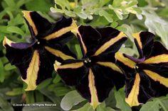 Petunia 'Black Velvet'