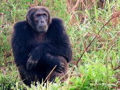 The Bulindi chimps currently include 3 adult males, 6 adult females, 4 infants, and a host of youngsters, bringing the census up to 20 individuals. They live a fragile existence in a small patch of land too close to people
