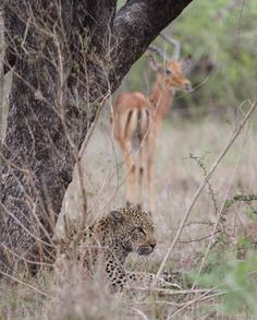 Impala X leopard