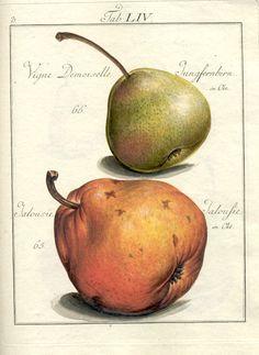 pomona-franconica-e.jpg (626×859)