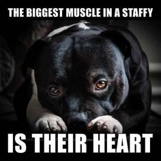 The biggest muscle in a Staffy is their heart.......... #PitBull