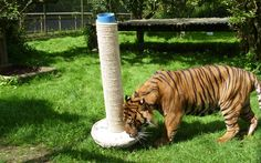 wild animal enrichment images | Team at Howletts Wild Animal Park recently presented the animals ...