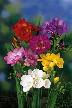 Freesia Flowers, All Flowers, Purple Flowers, Orchid Arrangements, Good Morning Flowers, Flower Pictures, Flower Wallpaper, Flower Beds, Beautiful Roses
