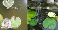 Can't see your pond fish because the water looks like pea soup? Try this Empress of Dirt clean water trick. Many pond owners say it clears their water in hours, even after years of struggle.