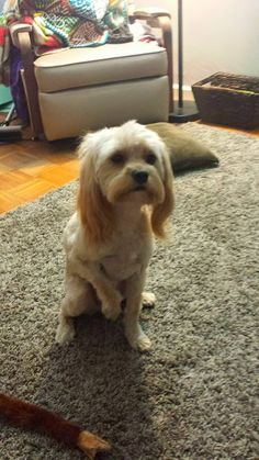 Wilfred's Summer Cavapoo cut- shaved the body like a poodle but left the ears long like a cavalier :)