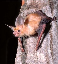 Bats can crawl on their front arms. Pallid bats like this one even feed on insects they catch on the ground. Photo by Robert Bloomberg.