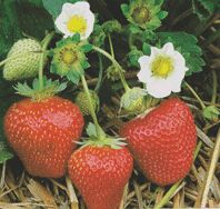 Strawberry Growing Information/ATTRACTS: Blue Jays. Plant as a groundcover. I will use for traveling, nesting and the berries. Serve dried berries in pancakes which is important in December.