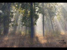 Beautiful light in the Indian Forest.   Natural Mystic.   Photographer: Homi Adajania.