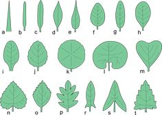 Types of Leaves | The Tree Center™