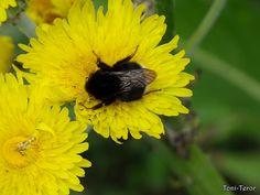 Abejorro sobre una flor