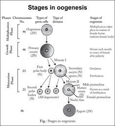 Difference between spermatogenesis and oogenesis reproductive difference between spermatogenesis and oogenesis reproductive technoscience pinterest med school and ob nursing ccuart Choice Image