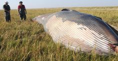 Mysterious Remains of A Whale Found in a Field in Utah. (They probably dropped…