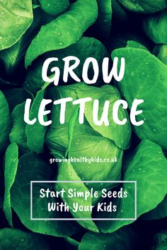 Growing lettuce indoors, on the patio or in the garden is super easy. Check out this super easy activity to do with your kids or experiment growing vegetables for beginners Planting For Kids, Growing Lettuce, Fruit Picking, Starting Seeds Indoors, Best Indoor Plants, Growing Seeds, Seed Starting, Activities To Do, Water Garden