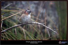 Chingolo ( Zonotrichia capensis )