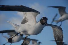 """Sea Gull"" -   30 July 2007, 17:22 hrs. EDT,   Bellevue, Saint Thomas, U.S. Virgin Islands, Global Coordinates: 18.331439⁰, -64.924673⁰,  Altitude: 2 Feet Above Sea Level.  © 2007 Arthur M. Brady, Jr."