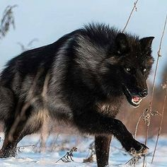 Wow – what a stunning black Timber Wolf! Wow – what a stunning black Timber Wolf! Beautiful Creatures, Animals Beautiful, Cute Animals, Wild Animals, Baby Animals, Wolf Spirit, Spirit Animal, Wolf Pictures, Animal Pictures