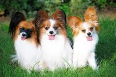 The Papillon can be a really intelligent and self-assured dog that has an incredibly straightforward time learning new tricks.The Papillon may possibly also be sensitive to anesthesia. Dog Papillon, Papillion Dog, Animals Beautiful, Cute Animals, Dog Wallpaper, Puppies Wallpaper, Different Dogs, Service Dogs, Little Dogs