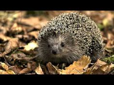 As far as pets go, it is the African pygmy hedgehog that is the most popular. These hedgehogs have a lifespan of around. Hedgehog Habitat, Hedgehog Meme, Pygmy Hedgehog, Happy New Year Movie, When Do Hedgehogs Hibernate, Underwater Dogs, Impressive Image, Under The Ocean, British Wildlife