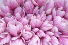 pink magnolia flower. meanings