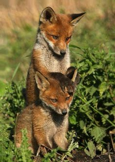 Two baby red foxes