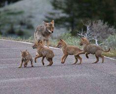 coyote wolf hybrid puppy