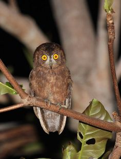 Enggano scops owl, first pics ever Owl Photos, Owl Pictures, Owl Sketch, Owl Species, Happy Owl, Owl Cat, Owl Vector, Funny Owls, World Birds