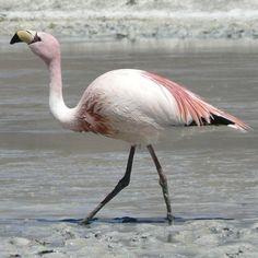 Phoenicopterus  jamesi  -  Laguna Canapa -  Lesser Flamingo  -  Bolivia   -  http://allbirdsoftheworld.wikia.com/wiki/Lesser_Flamingo