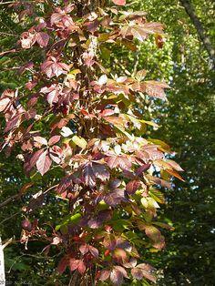 poisin oak