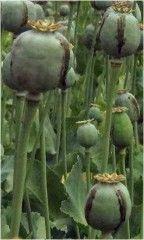 Opio. Alcaloides del Opio. Morfina, Codeína, Heroína, Papaverina. http://www.plantas-medicinal-farmacognosia.com/temas/alcaloides/opio/
