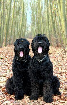 Black Russian Terriers, Fred Feuerstein & Hot Chilli Pepples, 2 unglaublich süße Hunde auf www.facebook.com/widpet