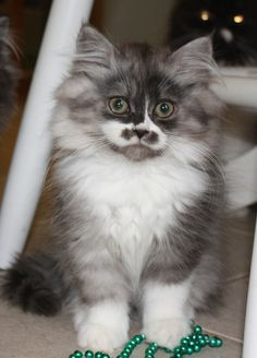 OMG! I just ran across this photo and it's really of my cat! His name is Sir Sterling and he's a Bicolor Smoke/Black Doll Face Persian! He's 2 yrs. old now and he's beautiful! 12-2014