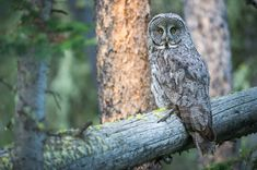 Great Grey Owl | Limited Edition of 300  Location: Yellowstone National Park  Fine art print onHahnemühle Photo Rag paper.  All prices are in Canadian dollars.  Please click on image for full view.