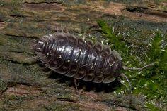 Crustacea - Classe Malacostraca, Subclasse Eumalacostraca (Ordem: Isopoda). Tatuzinho de jardim.
