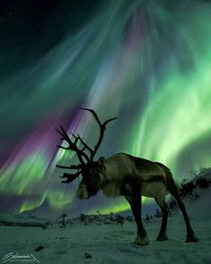Exhibit B. Previous pinner: Aurora and Reindeer, Finnish Lapland. Me: Someone else claims that this picture was taken in Norway. So, which is it, Finnish Lapland or Norway? You can see the problem. Tromso, Aurora Borealis, Beautiful Sky, Animals Beautiful, Majestic Animals, Northen Lights, All Nature, Wildlife Photography, Landscape Photography