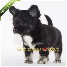 Chihuahuas en venta : LULÚ