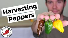 Red Jalapeno, Jalapeno Poppers, Stuffed Banana Peppers, Stuffed Jalapeno Peppers, When To Pick Jalapenos, Canned Jalapenos, Growing Peppers, Growing Greens, Ghost Peppers