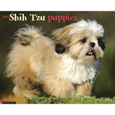 Just Shih Tzu Puppies Wall Calendar: Twelve cheery, full-color photographs of Shih-Tzu puppies so adorable you wish you could pick them up and cuddle them!   $13.99  calendars.com/...