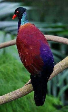 Ground Pigeon