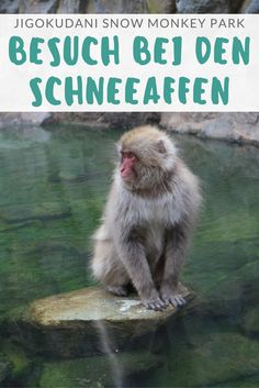 Jigokudani Snow Monkey Park: ein Besuch bei den Schneeaffen von Nagano.  WunderbarerTagesausflug aus Nagano oder Tokyo
